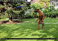 Rhodesian Ridgeback - Schnappschüsse - (Wandkalender 2019 DIN A4 quer) - Produktdetailbild 10