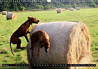 Rhodesian Ridgeback - Schnappschüsse - (Wandkalender 2019 DIN A3 quer) - Produktdetailbild 7