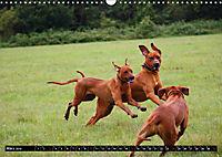 Rhodesian Ridgeback - Schnappschüsse - (Wandkalender 2019 DIN A3 quer) - Produktdetailbild 3