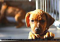 Rhodesian Ridgeback - Schnappschüsse - (Wandkalender 2019 DIN A3 quer) - Produktdetailbild 12