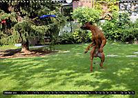 Rhodesian Ridgeback - Schnappschüsse - (Wandkalender 2019 DIN A3 quer) - Produktdetailbild 10