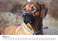 Ridgebacks - Hunde aus Afrika (Wandkalender 2019 DIN A4 quer) - Produktdetailbild 10