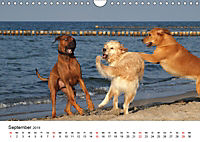Ridgebacks - Hunde aus Afrika (Wandkalender 2019 DIN A4 quer) - Produktdetailbild 9