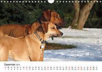 Ridgebacks - Hunde aus Afrika (Wandkalender 2019 DIN A4 quer) - Produktdetailbild 12