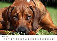 Ridgebacks - Hunde aus Afrika (Wandkalender 2019 DIN A4 quer) - Produktdetailbild 3