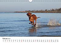 Ridgebacks - Hunde aus Afrika (Wandkalender 2019 DIN A4 quer) - Produktdetailbild 2