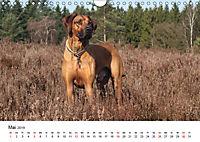 Ridgebacks - Hunde aus Afrika (Wandkalender 2019 DIN A4 quer) - Produktdetailbild 5