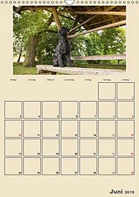 Riesenschnauzer - Riesen mit Herz und Seele (Wandkalender 2019 DIN A3 hoch) - Produktdetailbild 2