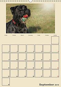 Riesenschnauzer - Riesen mit Herz und Seele (Wandkalender 2019 DIN A3 hoch) - Produktdetailbild 5