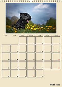 Riesenschnauzer - Riesen mit Herz und Seele (Wandkalender 2019 DIN A3 hoch) - Produktdetailbild 9