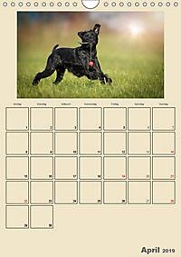 Riesenschnauzer - Riesen mit Herz und Seele (Wandkalender 2019 DIN A4 hoch) - Produktdetailbild 4