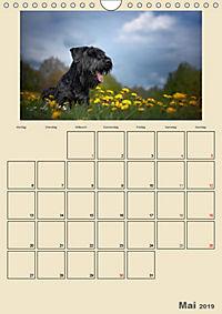 Riesenschnauzer - Riesen mit Herz und Seele (Wandkalender 2019 DIN A4 hoch) - Produktdetailbild 5