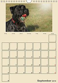 Riesenschnauzer - Riesen mit Herz und Seele (Wandkalender 2019 DIN A4 hoch) - Produktdetailbild 9