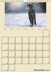 Riesenschnauzer - Riesen mit Herz und Seele (Wandkalender 2019 DIN A4 hoch) - Produktdetailbild 12