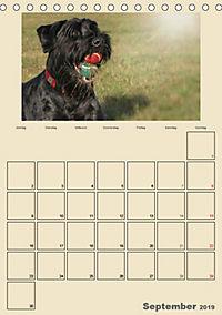 Riesenschnauzer - Riesen mit Herz und Seele (Tischkalender 2019 DIN A5 hoch) - Produktdetailbild 9