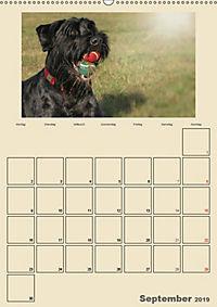 Riesenschnauzer - Riesen mit Herz und Seele (Wandkalender 2019 DIN A2 hoch) - Produktdetailbild 9