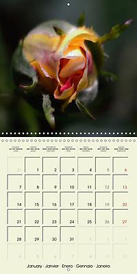 Rose Bloom (Wall Calendar 2019 300 × 300 mm Square) - Produktdetailbild 1