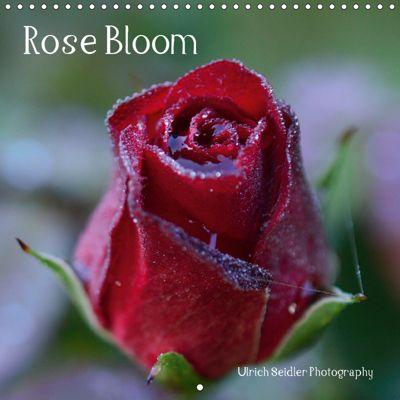 Rose Bloom (Wall Calendar 2019 300 × 300 mm Square), Ulrich Seidler