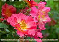 Rosen aus Uetersen (Wandkalender 2019 DIN A2 quer) - Produktdetailbild 4