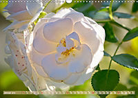 Rosen aus Uetersen (Wandkalender 2019 DIN A3 quer) - Produktdetailbild 1