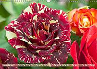 Rosen aus Uetersen (Wandkalender 2019 DIN A3 quer) - Produktdetailbild 12