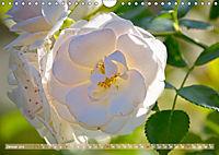 Rosen aus Uetersen (Wandkalender 2019 DIN A4 quer) - Produktdetailbild 1