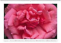 Rosen Schleswig-Holsteins (Wandkalender 2019 DIN A2 quer) - Produktdetailbild 8