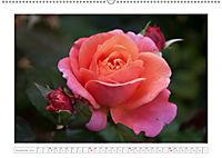 Rosen Schleswig-Holsteins (Wandkalender 2019 DIN A2 quer) - Produktdetailbild 11