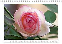Rosen Schleswig-Holsteins (Wandkalender 2019 DIN A4 quer) - Produktdetailbild 7