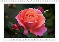 Rosen Schleswig-Holsteins (Wandkalender 2019 DIN A4 quer) - Produktdetailbild 11