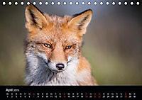Rotfüchse (Tischkalender 2019 DIN A5 quer) - Produktdetailbild 4