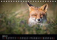 Rotfüchse (Tischkalender 2019 DIN A5 quer) - Produktdetailbild 9
