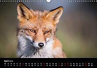 Rotfüchse (Wandkalender 2019 DIN A3 quer) - Produktdetailbild 4