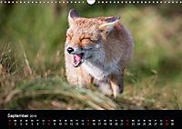 Rotfüchse (Wandkalender 2019 DIN A3 quer) - Produktdetailbild 9