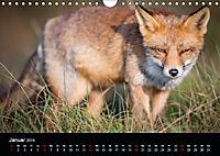 Rotfüchse (Wandkalender 2019 DIN A4 quer) - Produktdetailbild 1
