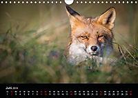 Rotfüchse (Wandkalender 2019 DIN A4 quer) - Produktdetailbild 6