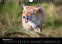 Rotfüchse (Wandkalender 2019 DIN A4 quer) - Produktdetailbild 9