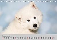 Samojeden - Liebenswerte Fellkugeln (Tischkalender 2019 DIN A5 quer) - Produktdetailbild 9