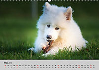 Samojeden - Liebenswerte Fellkugeln (Wandkalender 2019 DIN A2 quer) - Produktdetailbild 5