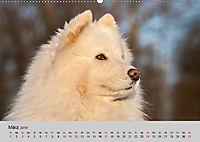 Samojeden - Liebenswerte Fellkugeln (Wandkalender 2019 DIN A2 quer) - Produktdetailbild 3