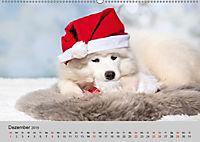 Samojeden - Liebenswerte Fellkugeln (Wandkalender 2019 DIN A2 quer) - Produktdetailbild 12