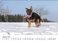 Schäferhund Yack wird erwachsen (Wandkalender 2019 DIN A2 quer) - Produktdetailbild 1