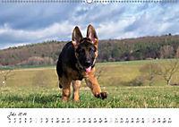 Schäferhund Yack wird erwachsen (Wandkalender 2019 DIN A2 quer) - Produktdetailbild 7
