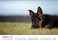 Schäferhund Yack wird erwachsen (Wandkalender 2019 DIN A2 quer) - Produktdetailbild 9
