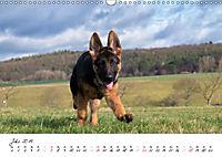 Schäferhund Yack wird erwachsen (Wandkalender 2019 DIN A3 quer) - Produktdetailbild 7