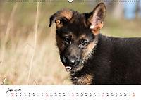 Schäferhund Yack wird erwachsen (Wandkalender 2019 DIN A2 quer) - Produktdetailbild 6