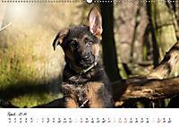 Schäferhund Yack wird erwachsen (Wandkalender 2019 DIN A2 quer) - Produktdetailbild 4