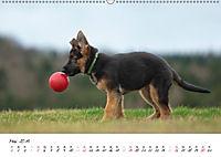 Schäferhund Yack wird erwachsen (Wandkalender 2019 DIN A2 quer) - Produktdetailbild 5