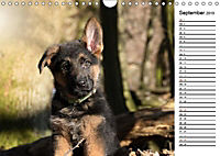 Schäferhund Yack wird erwachsenCH-Version (Wandkalender 2019 DIN A4 quer) - Produktdetailbild 9