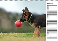 Schäferhund Yack wird erwachsenCH-Version (Wandkalender 2019 DIN A3 quer) - Produktdetailbild 4